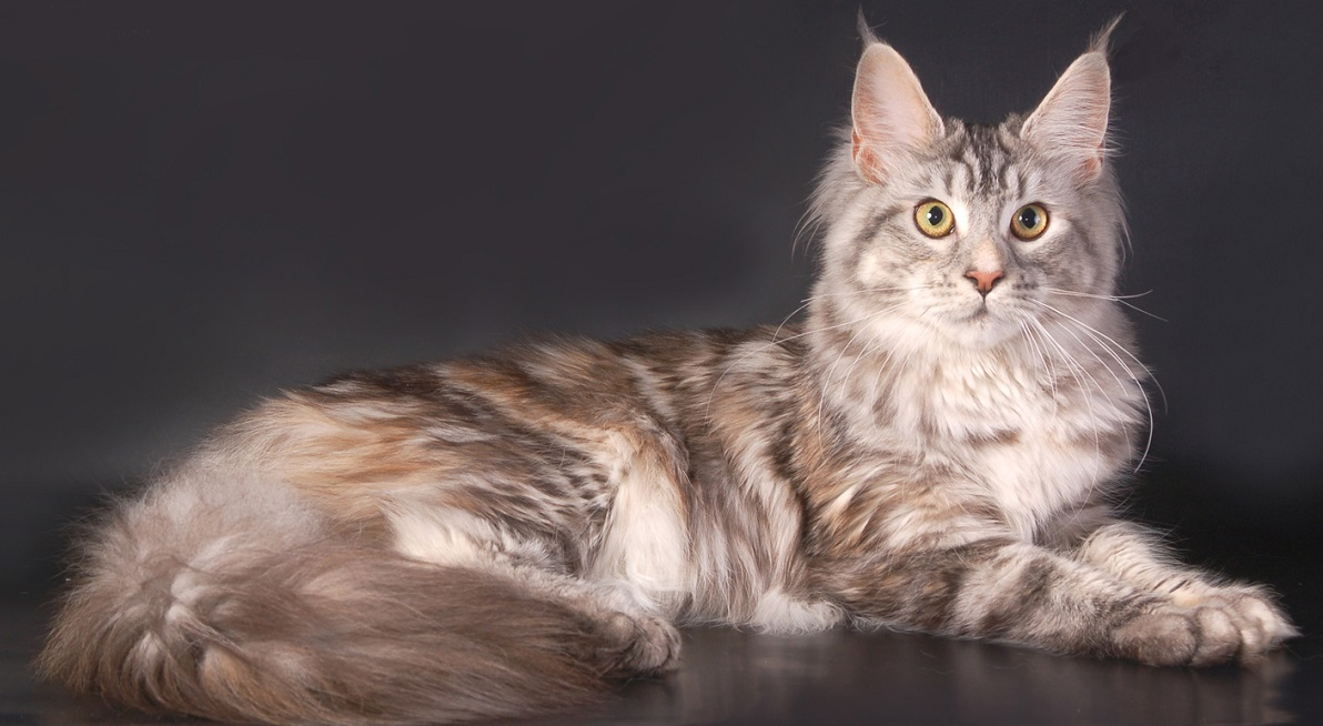 Nama Nama Untuk Kanak Kanak Lelaki Maine Coon 35 Foto Julukan Lucu Dan Cantik Untuk Kucing Maine Coon