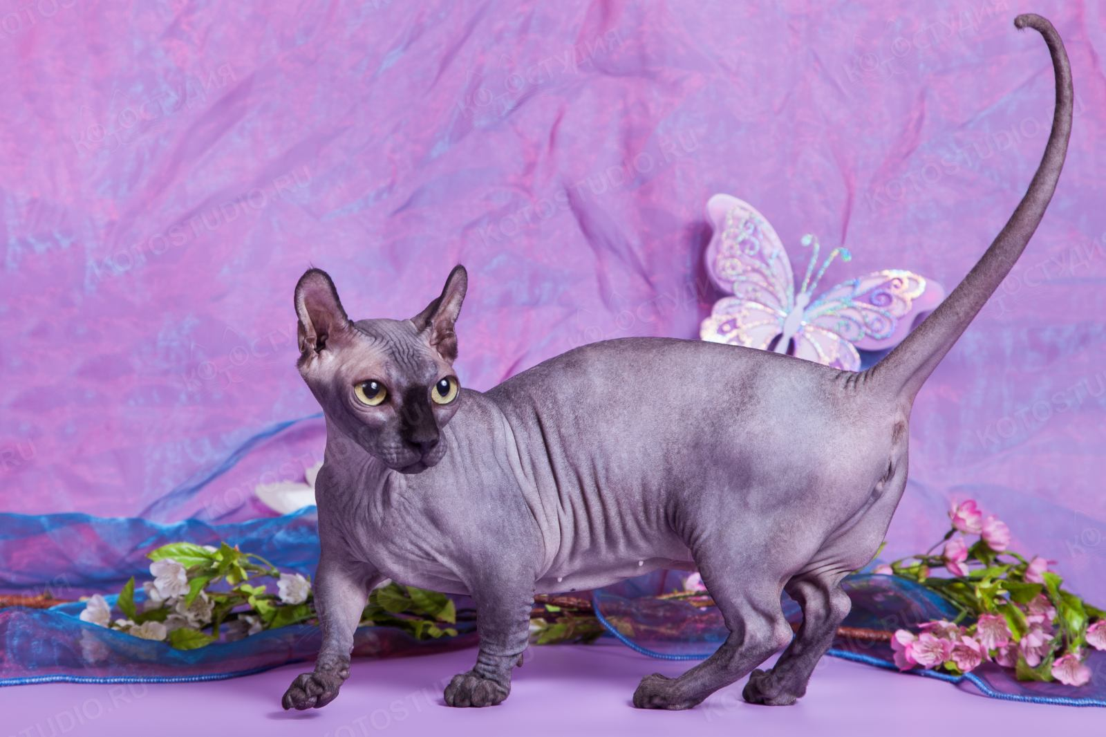 mlada ćelava uska maca