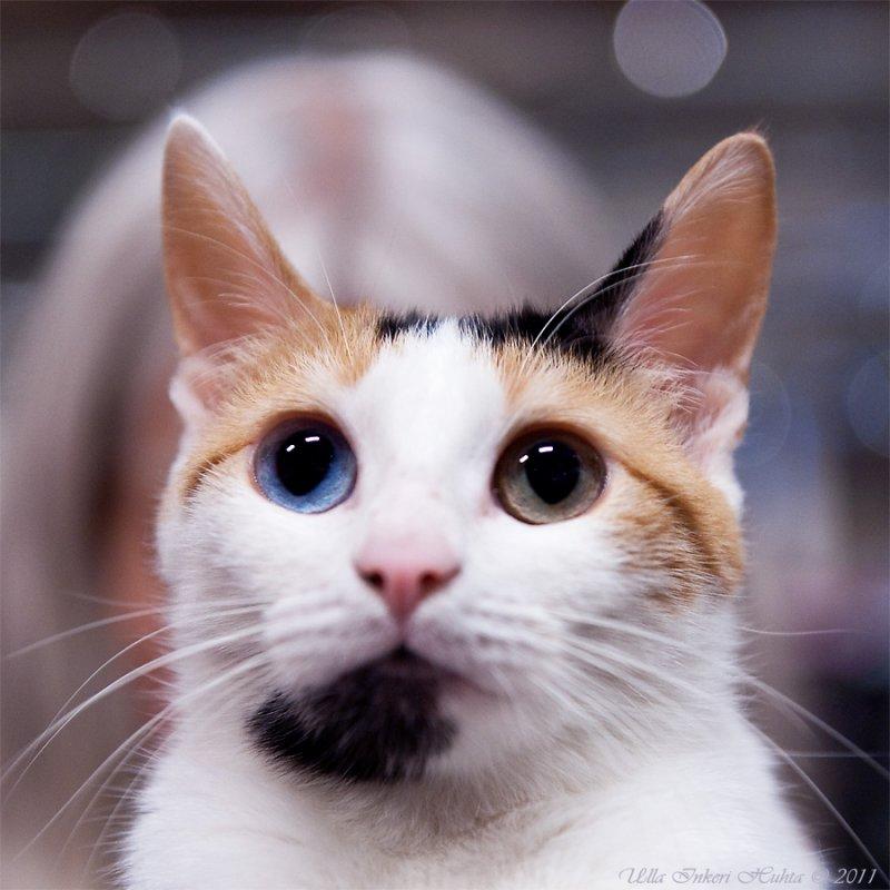 Kucing Biri Biri Jepun 33 Gambar Keterangan Kucing Baka Kucing Jepun Ciri Ciri Watak Dan Kandungan