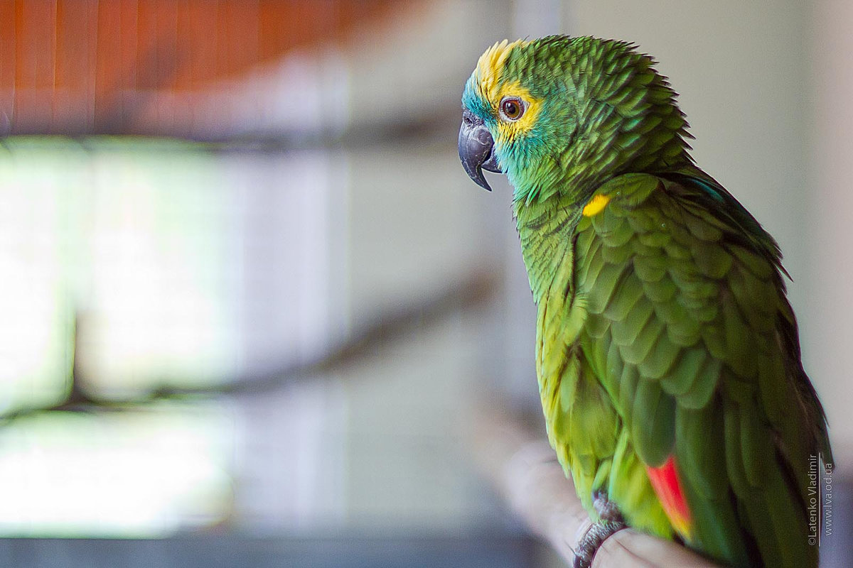 Burung Parrot 48 gambar spesies popular baka yang paling