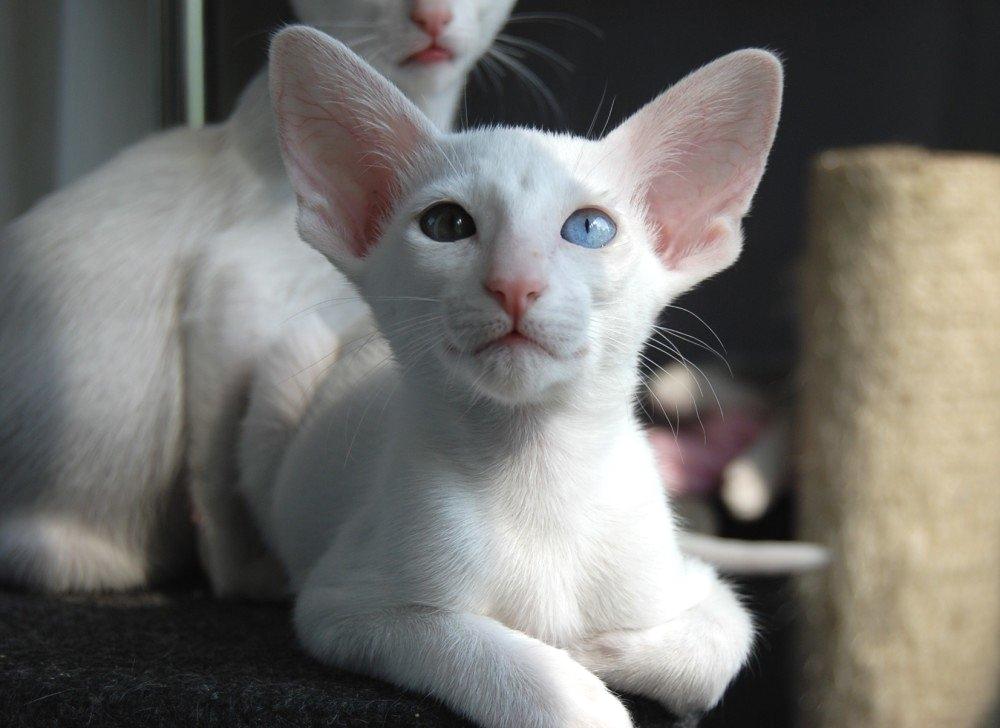 Vruća ebanovina maca slika