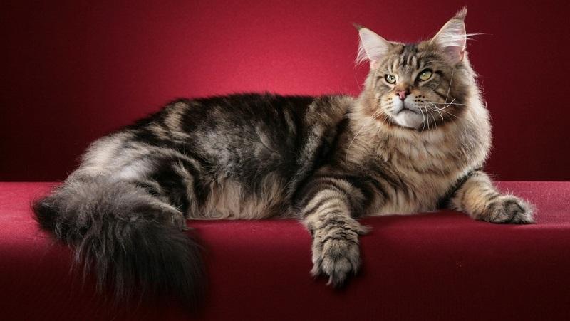 Perbandingan Maine Coon Dengan Kucing Biasa 17 Foto Bagaimana Membezakan Kucing Maine Coon Daripada Anak Kucing Biasa