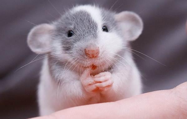 Szczury Dumbo 42 Zdjęcia Cechy Rasy Jak Długo żyją Te Ozdobne Szczury Pielęgnacja I Konserwacja Opinie Właściciela