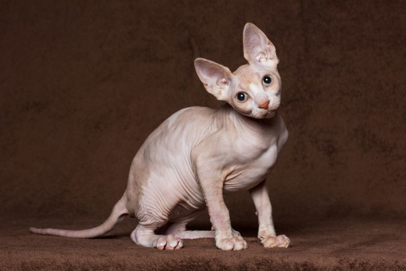 plešatý malá kočička