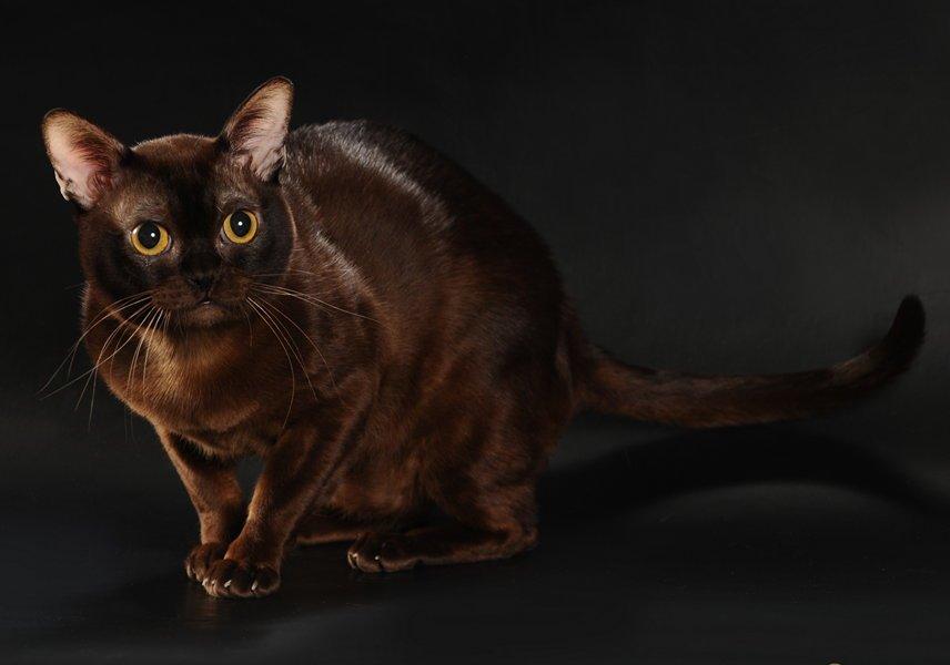 kremasto maženje maca