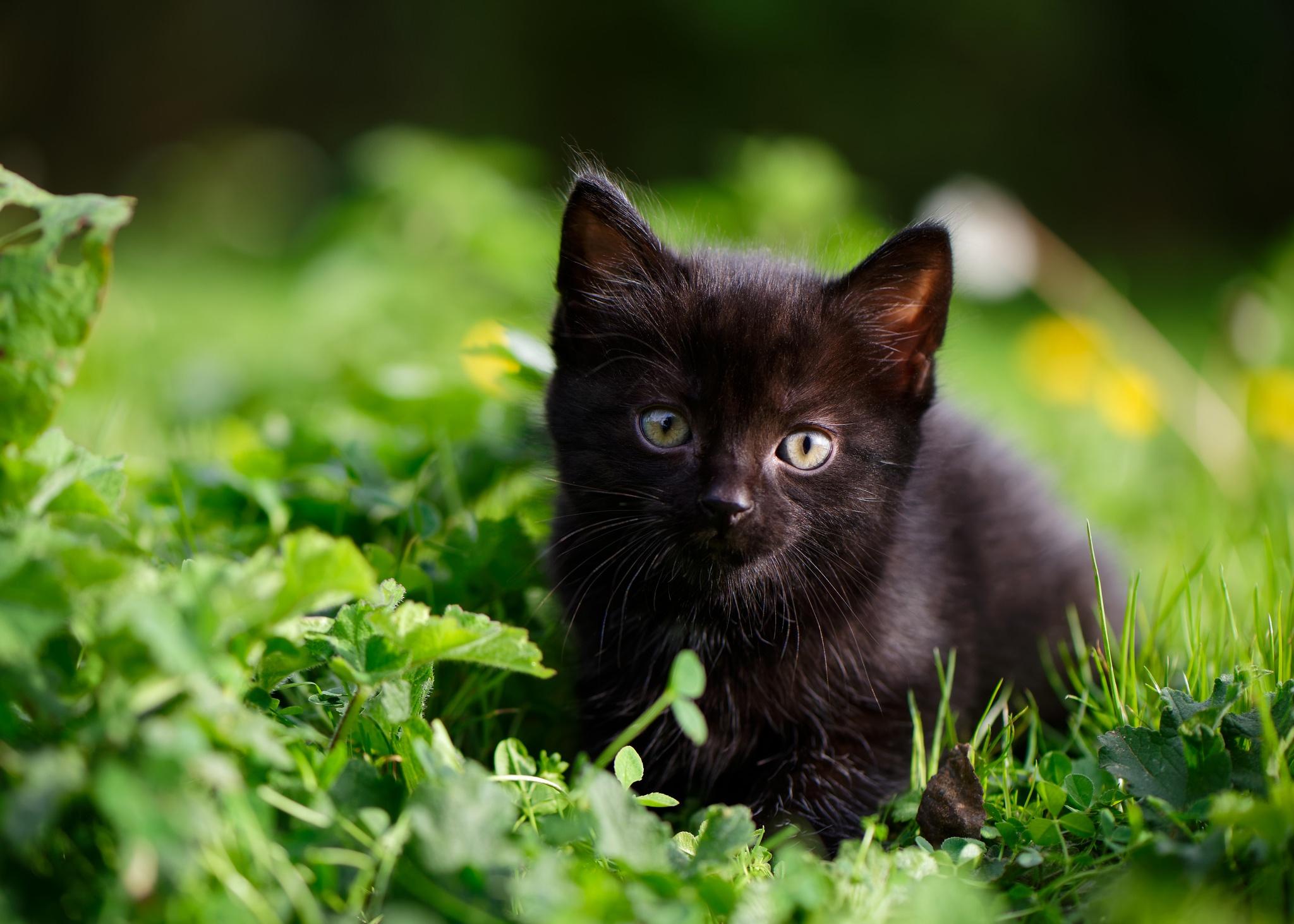 porazit tu černou kočičku