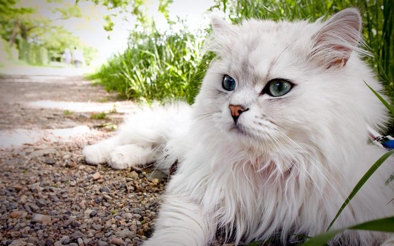 Afrički lijepa maca