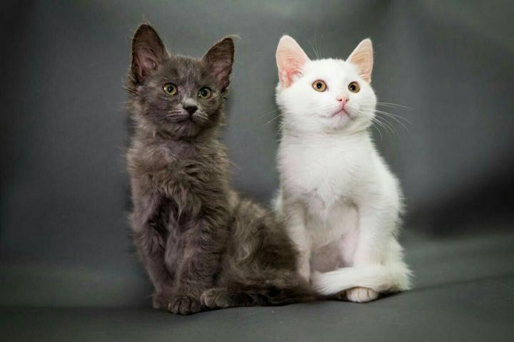 Dospívající prstoklad kočička