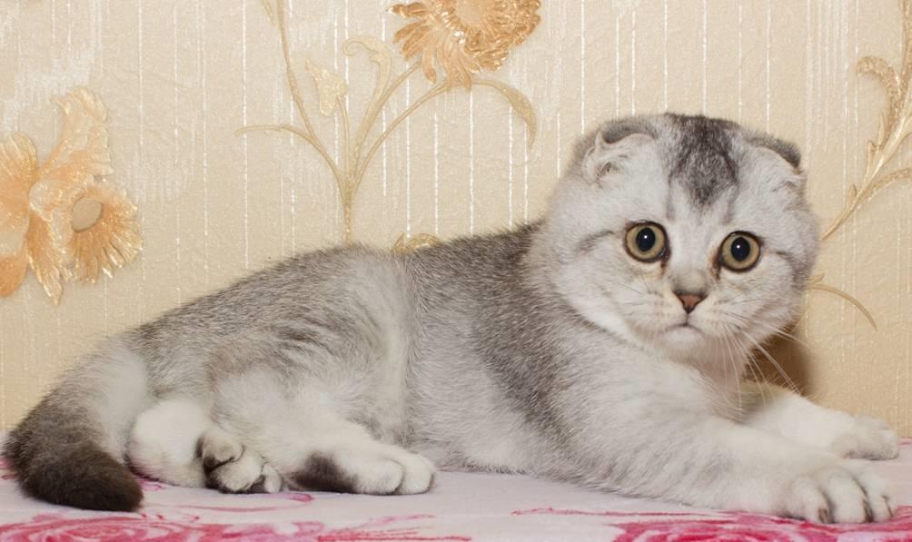 ebanovina maca samo slike