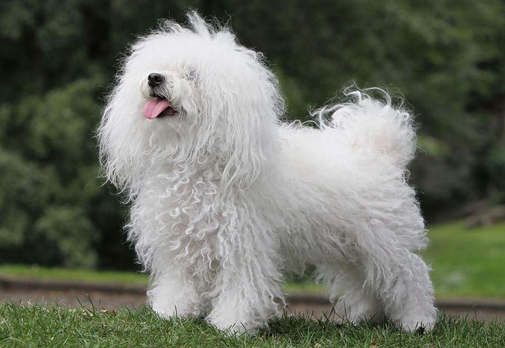 44+ Maltese jenis anjing lucu terupdate