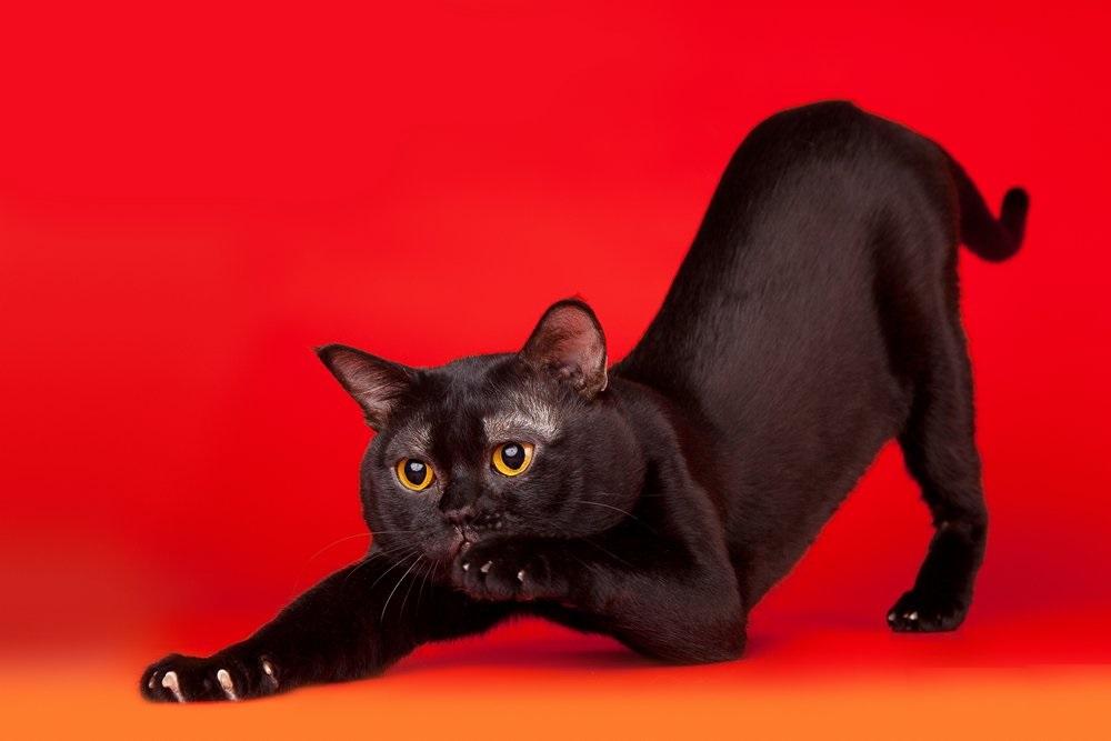 široki bokovi velika maca