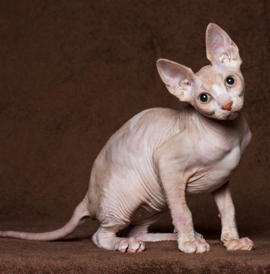 سلالات القطط مع آذان كبيرة 37 صور ما هو اسم سلالة القط مع كمامة ممدود وصف القطط ذات الأنف الكبير والساقين الطويلة والأذنين الكبيرة