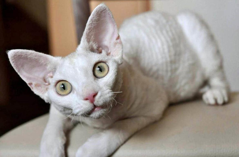 Malá mladá plešatá kočička