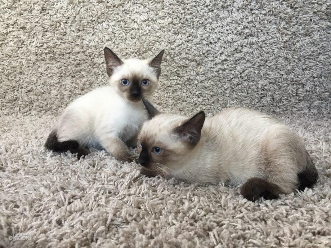 Nama Nama Untuk Kucing Siam 9 Foto Julukan Terkenal Dan Cantik Untuk Lelaki Dan Perempuan Baka Siam