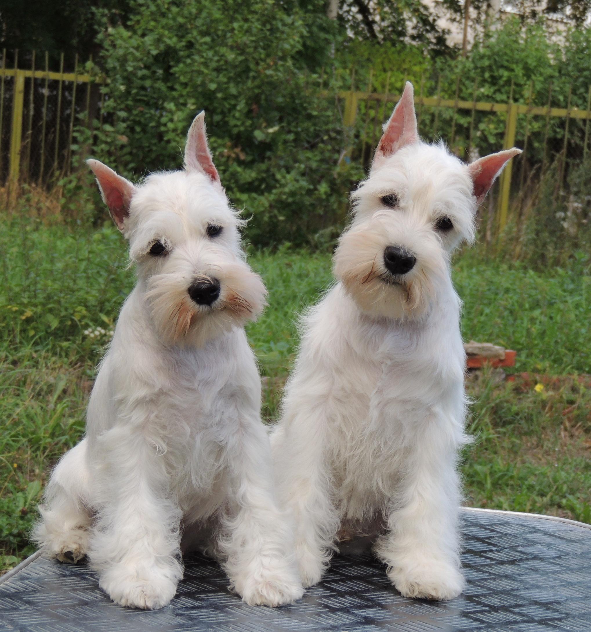 Anjing Putih 53 Gambar Baka Anjing Besar Dan Kecil
