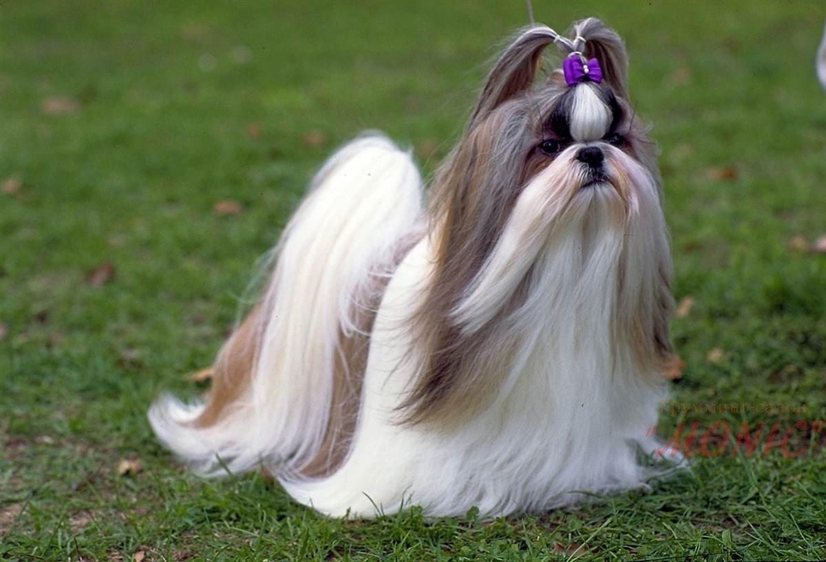 Binatang Anjing Cina 26 Gambar Anjing Kecil Dan Besar Dengan Nama Nama Haiwan Yang Paling Dikasihi Oleh Kaisar Anjing Berambut Merah Berbulu