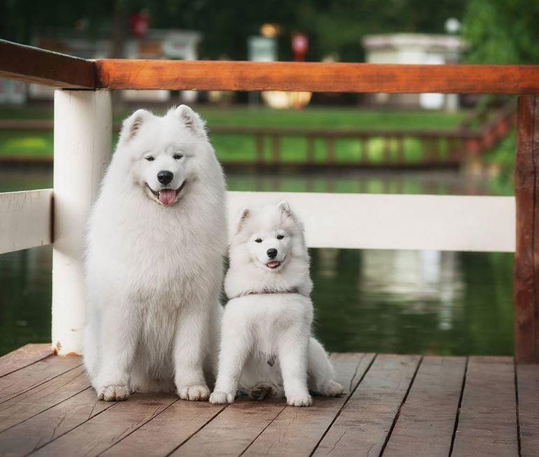 Hund Weiß Groß