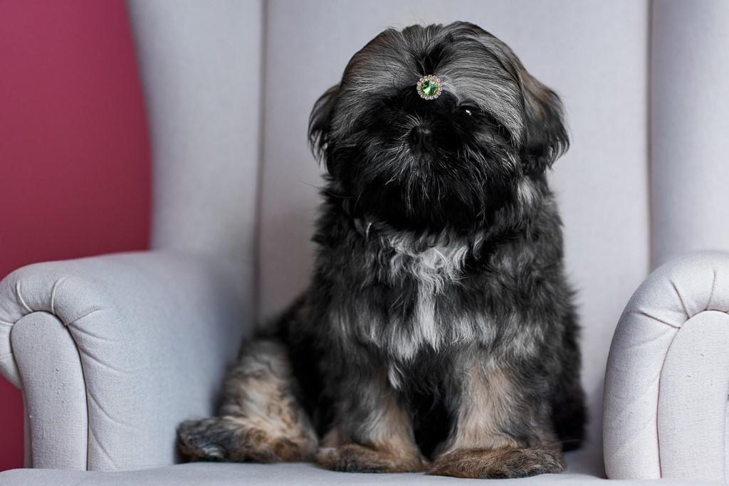 Shih Tzu 39 Gambar Keterangan Tentang Baka Anjing Shizu Ciri Ciri Anak Anjing Dan Haiwan Dewasa Ciri Ciri Dan Kekurangan Ulasan Pemilik