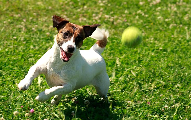 Trening Jack Russell Terrier (39 zdjęć): wychowanie