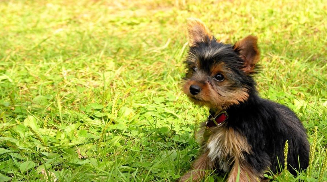 Anjing Kecil Berbulu 32 Gambar Baka Berbulu Dan Anjing Kecil Dengan Nama