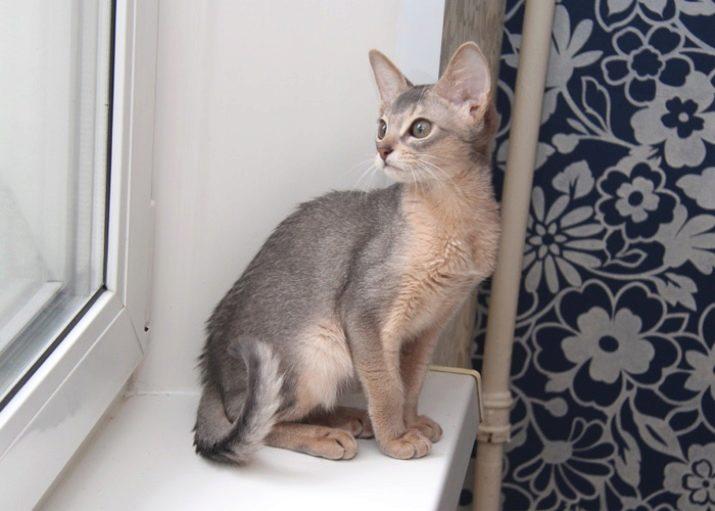Kucing warna biru Abyssinian (14 foto): ciri-ciri warna