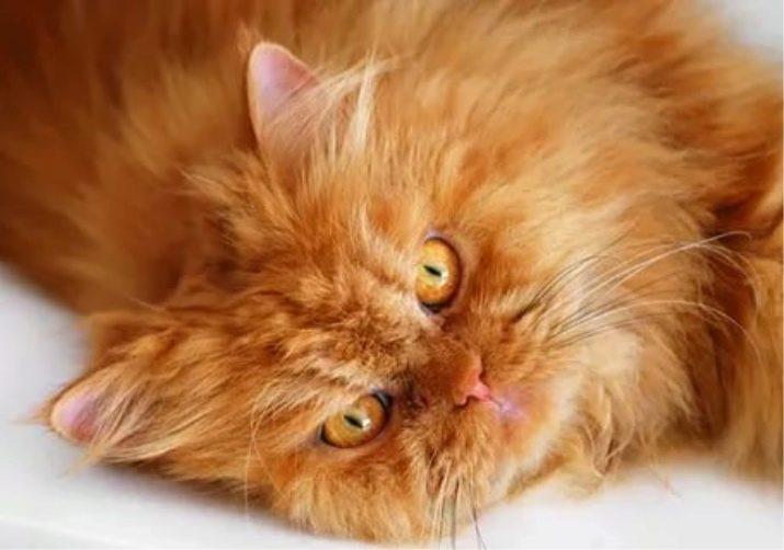 Perserkatze 99 Fotos Wie Sieht Eine Perserkatze Aus Und Wie Ist Ihr Charakter Katzenfutter Beschreibung Von Schwarzen Grauen Und Blauen Perserkatzen